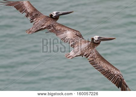 Close up of two Brown Pelicans flying close together over the Pacific Ocean in Panama