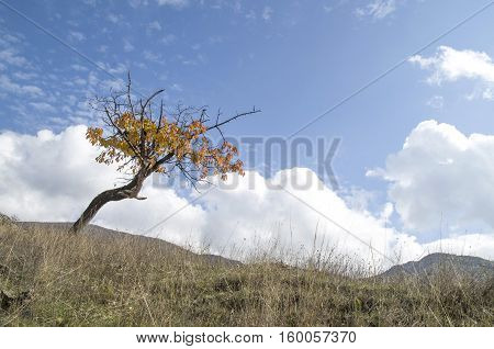 Lonely autumn cherry tree in meadow in cloudy day