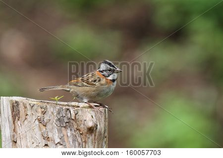 rufous-collared sparrow perched on a cut tree trunk