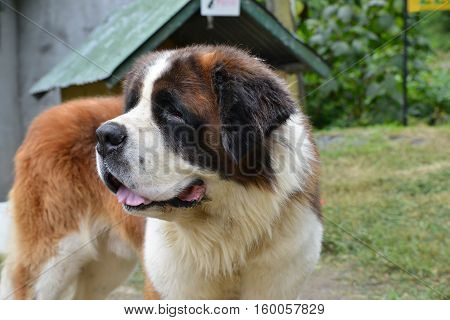 Close up of an Old Saint Bernard dog