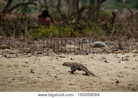 Komodo dragon youngster with local people in the beautiful nature habitat on the famous island in Indonesia, dragons, wildlife, rare and beauty, danger, gigantic and the biggest lizard on the earth,