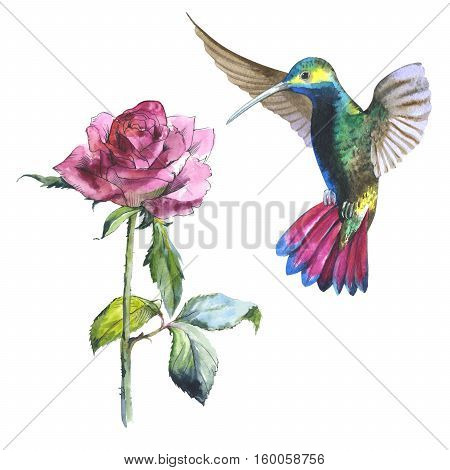 Wildflower rose flower and colibri bird in a watercolor style isolated. Aquarelle wild flower and bird for background, texture, wrapper pattern, frame or border.