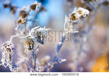 Frozen thistle on the color background in winter.