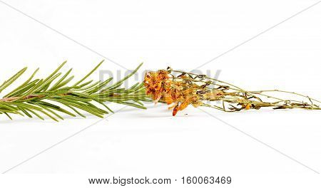 rosemary and St John's wort isolated on white
