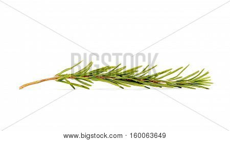 picture of a rosemary isolated on white background
