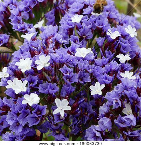 Flora of Gran Canaria - small papery lilac flowers of Limonium pectinatum, endemic to Canary Islands