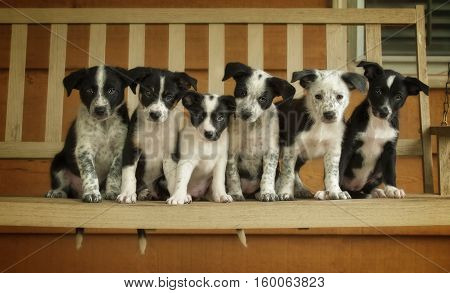 Six Border Collie puppies sitting on a wooden swing.