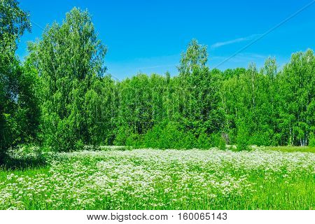 White flowers in a meadow near the forest on a summer day