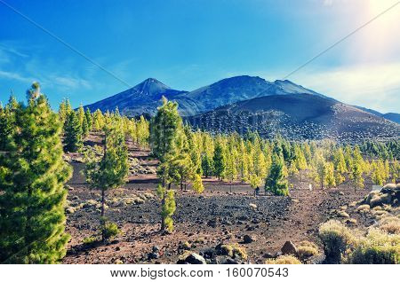 Volcano El Teide, Tenerife National Park. Pine Forest On Lava Rocks In El Teide National Park.