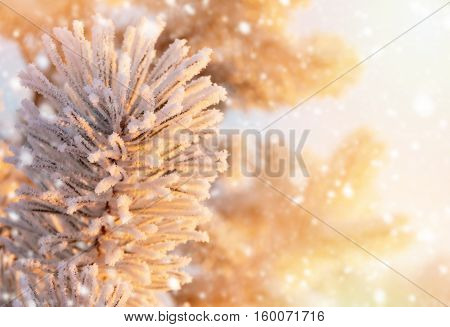 Winter bright background. The branches of pine in hoarfrost in the rays of the setting sun.