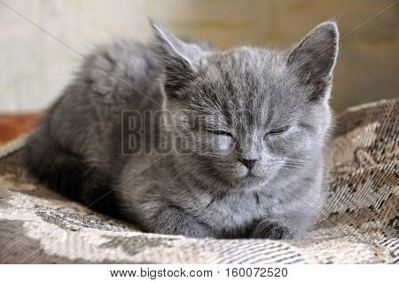 British Shorthair cat is sleeping on the bad