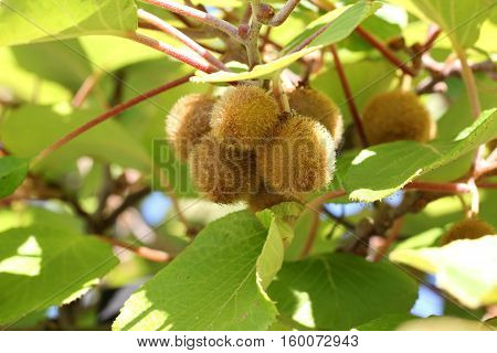 Kiwi Fruits ripen in the garden .