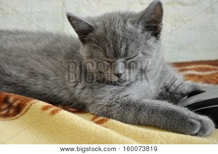 British Shorthair cat is sleeping on the bad with computer mouse