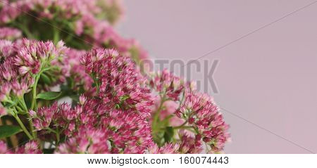 Sedum flowers bouquet on a gray background