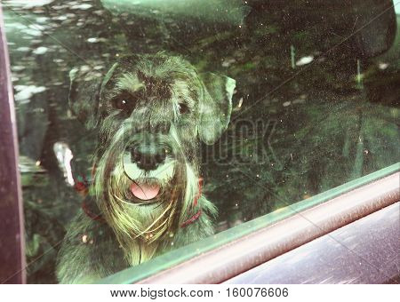 mittel schnauzer dog loced in car close up photo throuth the