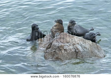 The Baikal seal - nerpa , is a species endemic unique to Baikal, the worlds deepest lake.
