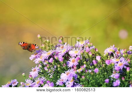 beautiful butterfly flitting above flowers on a summer meadow