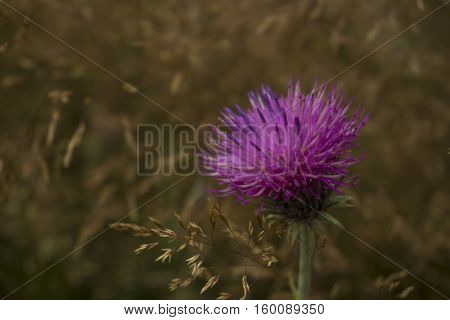 Thistle shot in the Central Balkan National Park on a foggy autumn day