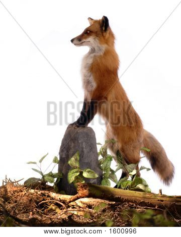 Profile Of A Red Fox
