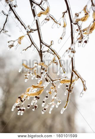 Tree Branch Covered With Ice