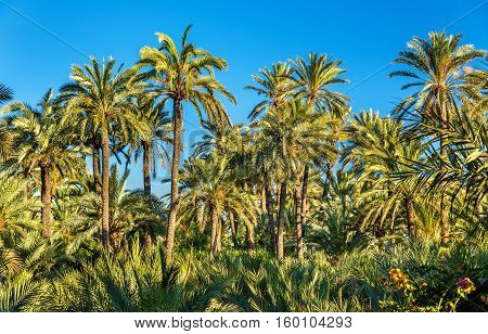 The Palmeral of Elche, Spain, one of the largest in the world. UNESCO heritage site