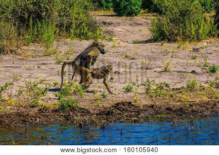 Botswana, Chobe National Park on the Zambezi River. The concept of extreme and exotic tourism. Herd of baboons at the watering