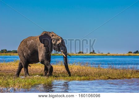 The concept of exotic tourism. African elephant - single on a watering place in the Okavango Delta. Botswana, Chobe National Park