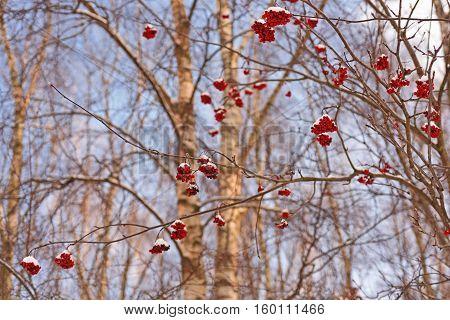 Rowan Berries On Winter Branches