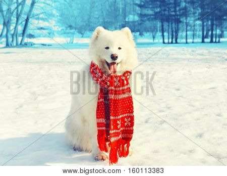 Happy White Samoyed Dog With Red Scarf On Snow In Winter Day