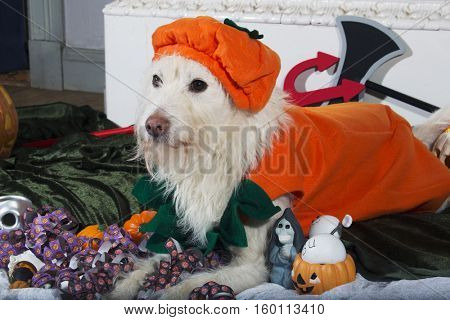 West highlands terrier dressed for Halloween