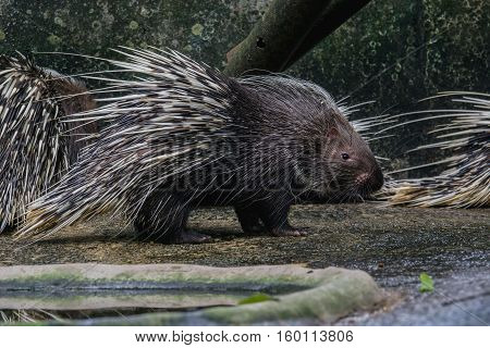 close up the porcupine (Hystrix brachyura) An animal with spikes