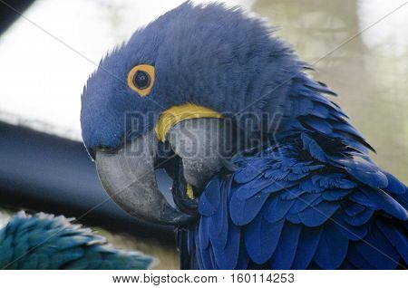 this is a close up of a Hyacinth macaw