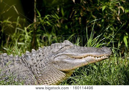 this is a close up of a American alligator