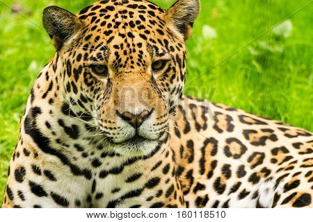 Close-up view of a Jaguar. Panthera onca