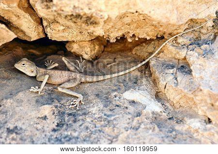 Pale Agama (Trapelus pallidus), Judaean Desert, Israel