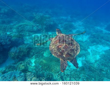Sea turtle in blue water of tropical lagoon. Green turtle swimming underwater close photo. Wild animal of tropical sea. Turquoise seawater.