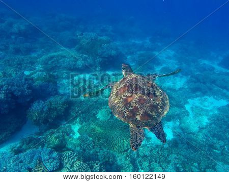Sea turtle in blue water of tropical lagoon. Green turtle swimming underwater close photo. Wild animal of tropical sea. Oceanic ecosystem. Snorkeling photo with turtle. Tortoise animal in wild nature