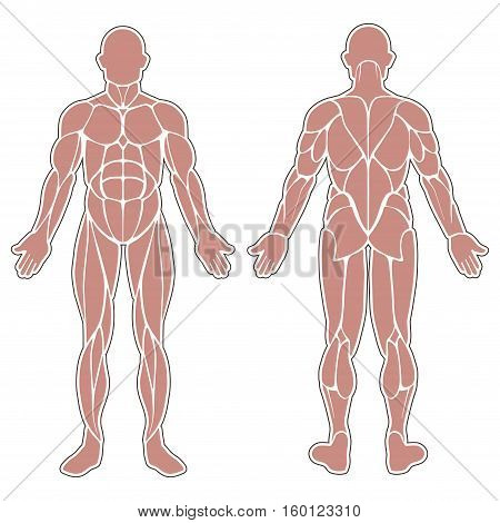 Human muscles silhouette isolated on white background