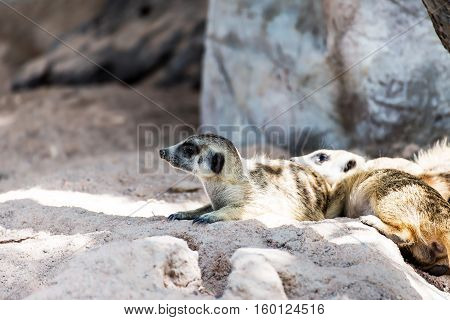 A tight shot of alert family of watchful African desert Meerkats (Suricata suricatta) on guard duty.
