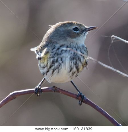 Yellow-rumped Warbler (Setophaga coronata) in non-breeding plumage
