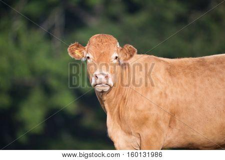 Limousine cow in field in France