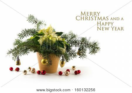 Potted poinsettia (Euphorbia pulcherrima) with white bracts decorated with fir branches and baubles isolated on a white background sample text Merry Christmas and a Happy New Year