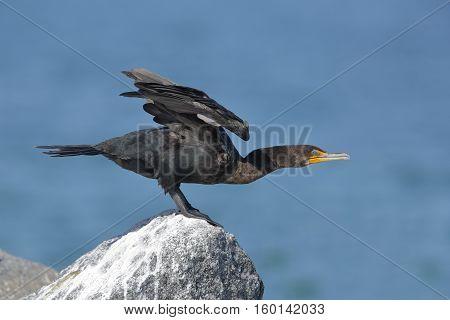 Double-crested Cormorant Preparing To Take Flight - Florida