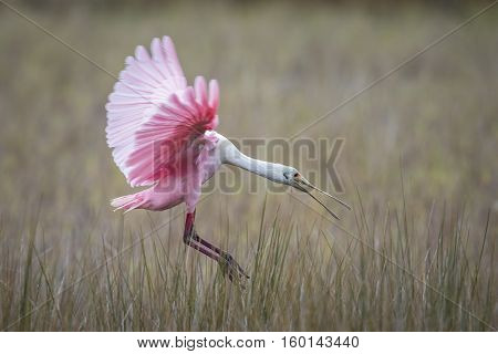 Roseate Spoonbill Landing In A Marsh - Florida