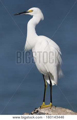 Snowy Egret Perched On A Rock - St. Petersburg, Florida