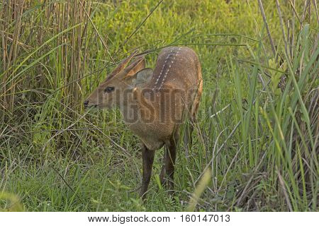 Young Hog Deer in the Grasses in Kaziranga National Park in India