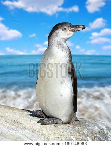 The Humboldt Penguin ( Spheniscus humboldti ) in the background sea