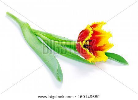 yellow tulip isolated on white