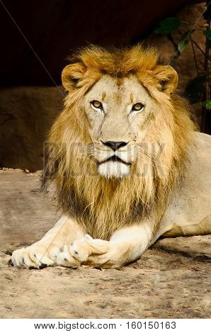 Big Male Lion Lying.portrait Of A Beautiful Lion,