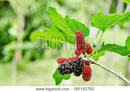 black ripe and red unripe mulberries on the branch in mulberry garden.